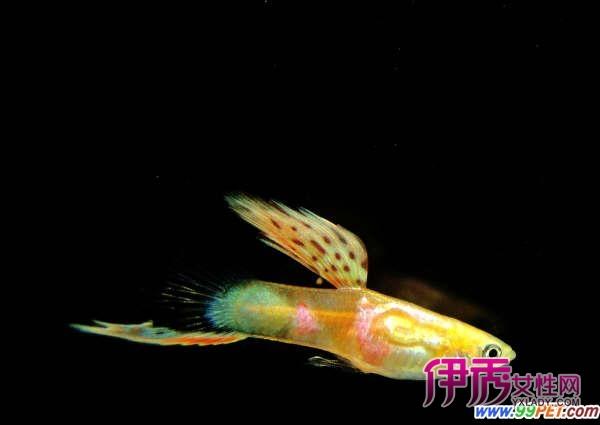 孔雀鱼的品系分类(多图)_宠物水族_宠物-伊秀