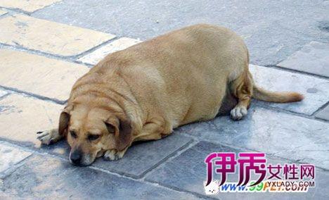 世界最肥宠物集锦之胖狗(多图)