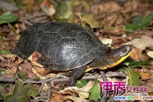 饲养布氏拟龟有何注意事项 图