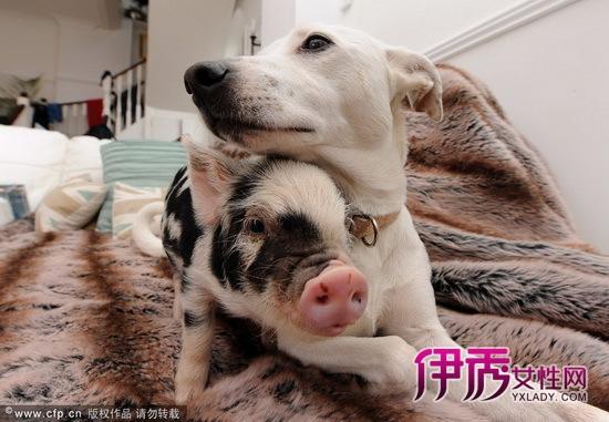 英国迷你猪与猫狗同食同寝(多图)_宠物水族_宠物-伊秀
