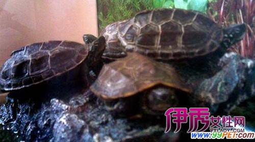 放生数万只乌龟 目的是什么?(图)_宠物水族_宠