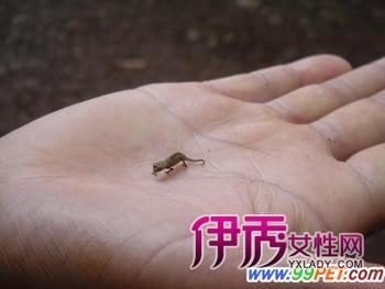 马达加斯加发现最小变色龙(多图)