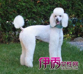 贵宾犬品种介绍--巨型贵宾犬(图)_宠物水族_宠