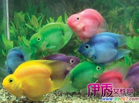 火鹤鱼有哪些品种类型(图)_宠物水族_宠物-伊