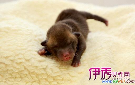 据外媒报道,居住在美国加州的腊肠犬碧昂斯将成为世界上最小的狗。这只和美国流行歌手同名的小狗仅长约10厘米,刚出生时甚至可以站在一把调羹上。 碧昂斯于今年3月在北加州出生,出生时仅有调羹大小。它在出生时一度没有心跳,靠动物保护组织的工作人员全力抢救才捡回一条小命。 工作人员表示,碧昂斯在两周之后便可接受领养。它正在申请吉尼斯世界纪录,若成功便可成为世界上最小的狗。 相关新闻 据外媒报道,出生在英国威尔特郡的小狗杰克可能是世界上最迷你的狗了。它出生时仅重42克,还没有一个成年人的手掌大;并且只能用注射器喝