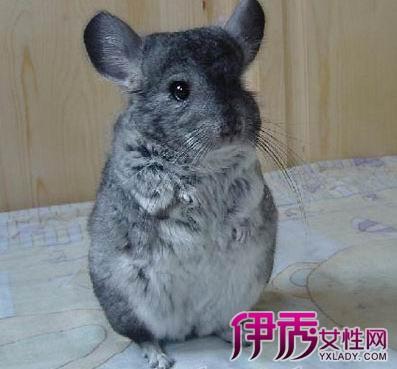 【组图】龙猫多少钱一只 毛丝鼠龙猫萌萌图片