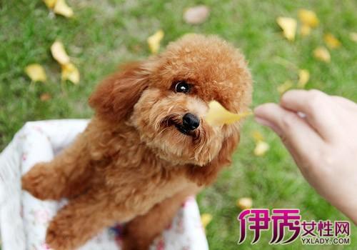 【图】贵宾犬多少钱一只 茶杯贵宾犬的价格(3