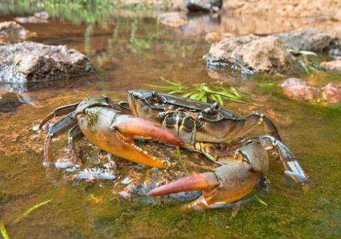 水里游的动物螃蟹