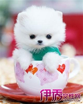 【图】茶杯泰迪犬好养吗