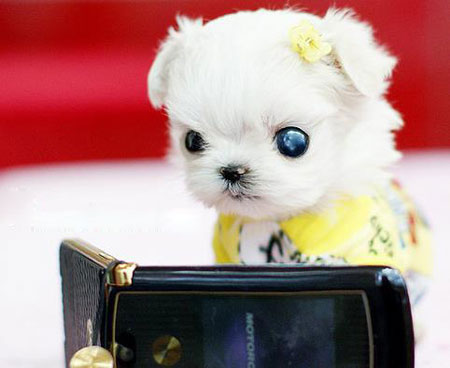 能放在茶杯里的贵宾犬,小得像娃娃一样,太可爱了.