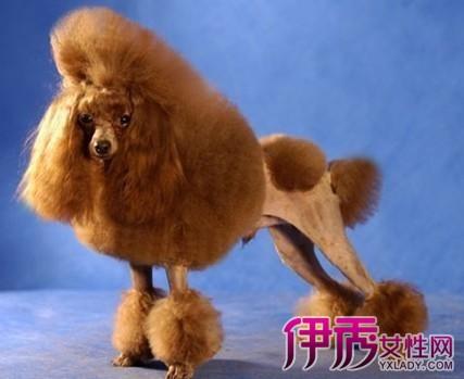优雅的宠物犬,长方形