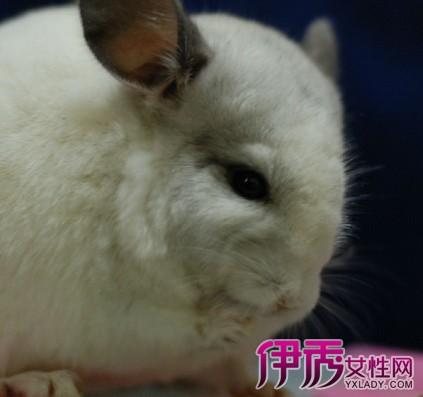 【图】沈阳哪有卖龙猫的 现实版的龙猫竟是毛丝鼠