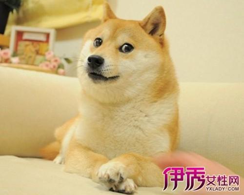 【秋田犬头像表情】【图】贱贱的秋田犬公众头音号抖斜眼信微斜眼包红色感叹号图片