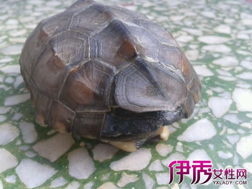 覆盖物的松土中冬眠.中华龟的冬眠期一般从11月到次年4月初,当水