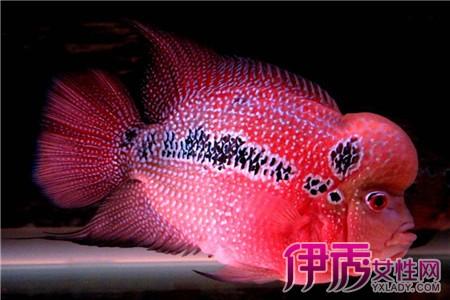 【罗汉鱼可养多久】【图】罗汉鱼可养多久 罗