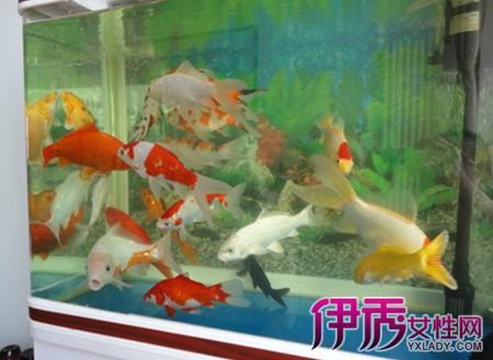 【金鱼和理锦哪种好养】【图】金鱼和理锦哪种