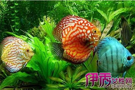 七彩神仙鱼小的时候爱游动大了不爱游动是什么原因1水质没有改变2饲料没有改变3水温