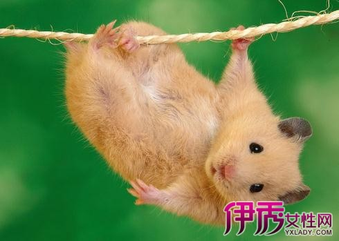 【图】最受欢迎的宠物 超萌小仓鼠