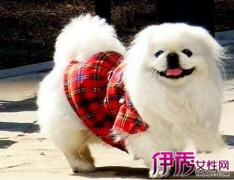 【图】京巴犬图片欣赏 可爱狗狗被传可变狮子令人咋舌