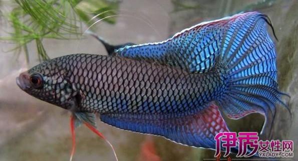 【中国斗鱼】【图】中国斗鱼分类有哪些 揭3种