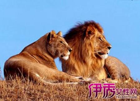 动物 狮子 桌面 450