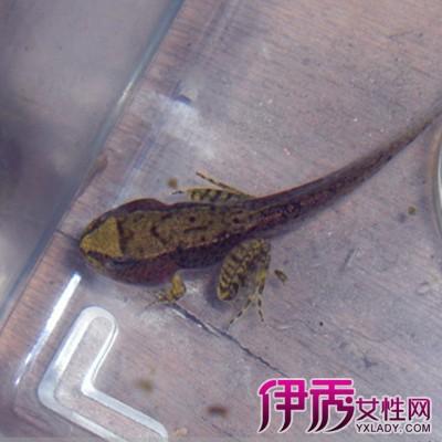 青蛙一向被认为是卵生动物,不过科学家发现,一种生活在印度尼西亚