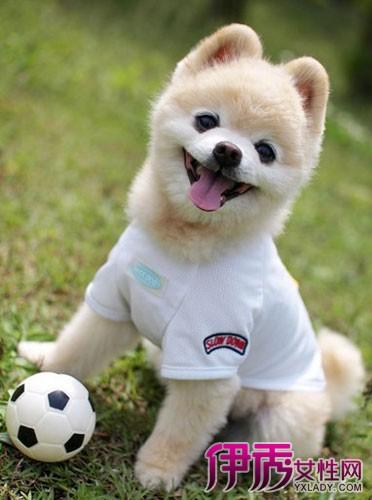 """俊介的明星造型保持着""""可爱小不点""""风格,被封为当今最流行的偶像犬."""