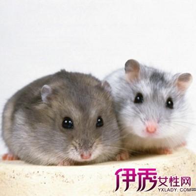 仓鼠怎么分辨公母 三种方法教你轻松辨别图片