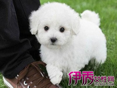 其实白色泰迪犬也是一样可爱的