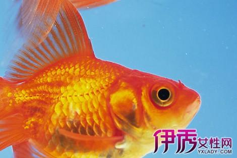 【养金鱼有什么讲究吗】【图】关于养金鱼有什
