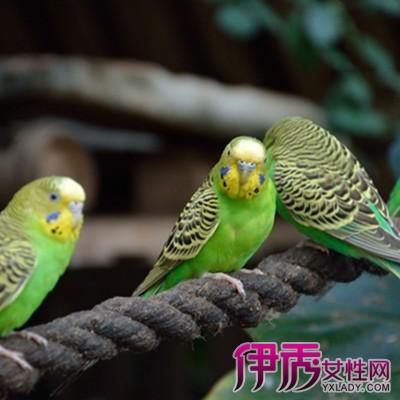 虎皮鹦鹉怎么分公母呢 饲养鹦鹉须知道的事图片