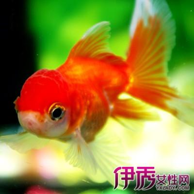 【养金鱼几天换一次水】【图】养金鱼几天换一