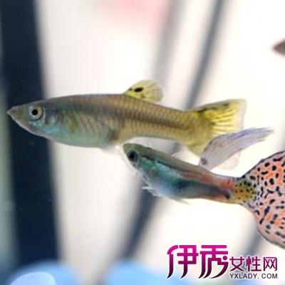 【图】孔雀鱼交配图解展示 喂养孔雀鱼的4大注意事项需谨慎
