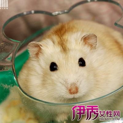 布丁仓鼠怎么分公母呢 从六个生活习性告诉你怎样样仓鼠图片