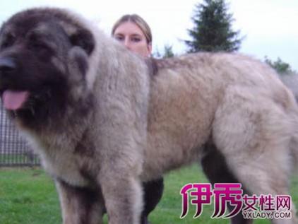 高加索犬与藏獒打架谁赢呢 高加索犬与藏獒资料介绍