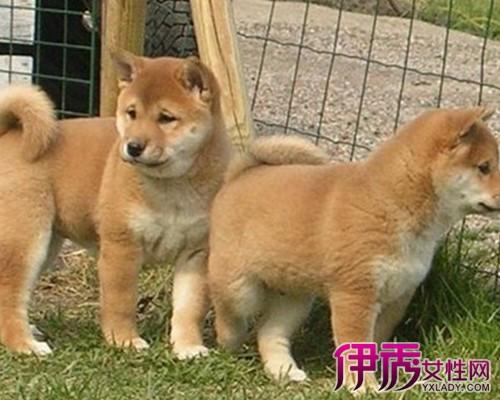 【图】柴犬逗比表情图片欣赏 为你介绍此动物的生长习性