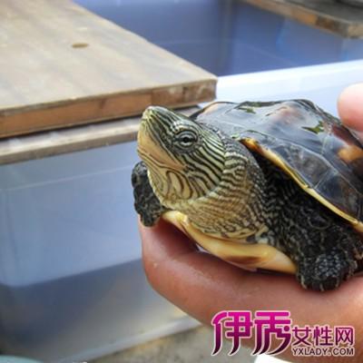 珍珠龟怎么分公母 教你4个步骤管理珍珠龟图片