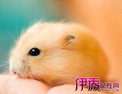 【图】小仓鼠的寿命到底是多少呢 让我们来看看它们短暂的一生吧