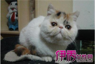 纯种极品加菲猫图片展示 萌萌猫咪惹人爱