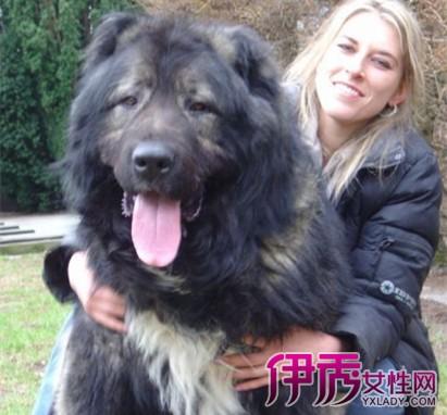 中国最大的藏獒王_中国藏獒十大獒王图片展示 及相关特点介绍