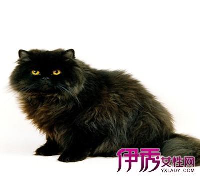 【图】黑色波斯猫的图片大全 有关其外形特征及生长繁殖