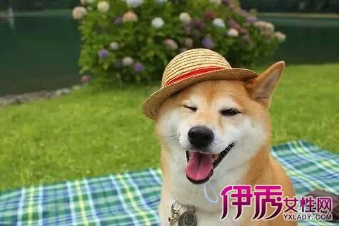 【柴犬头像】【图】可爱的柴犬头像欣赏