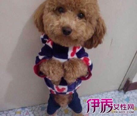 纯泰迪狗的特征是什么图片1