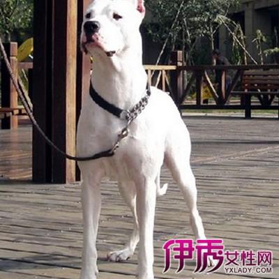解答杜高犬为什么要剪耳朵 教你如何为杜高修耳
