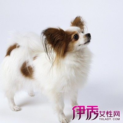 【图】萌萌哒蝴蝶犬图片大全 可爱的造型你值得拥有