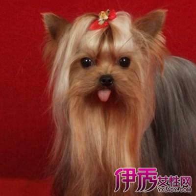【图】约克夏狗图片大全欣赏 了解可爱小型宠物狗的脾气