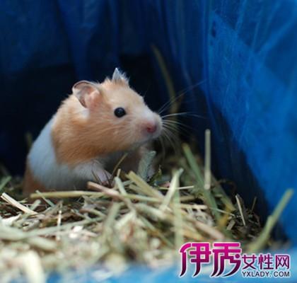 【图】温顺宠物仓鼠金丝熊