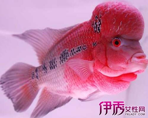 【罗汉鱼怎么养出爆头】【图】教你罗汉鱼怎么
