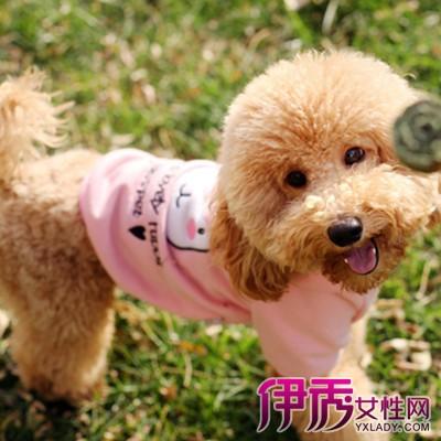 泰迪狗短毛造型_发型设计