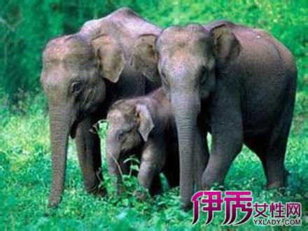 动物,通常以家族为单位活动,有时几个象群聚集起来,结成上百只大象.